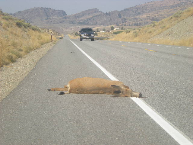 Mule deer roadkill on Highway 97 within the project area.